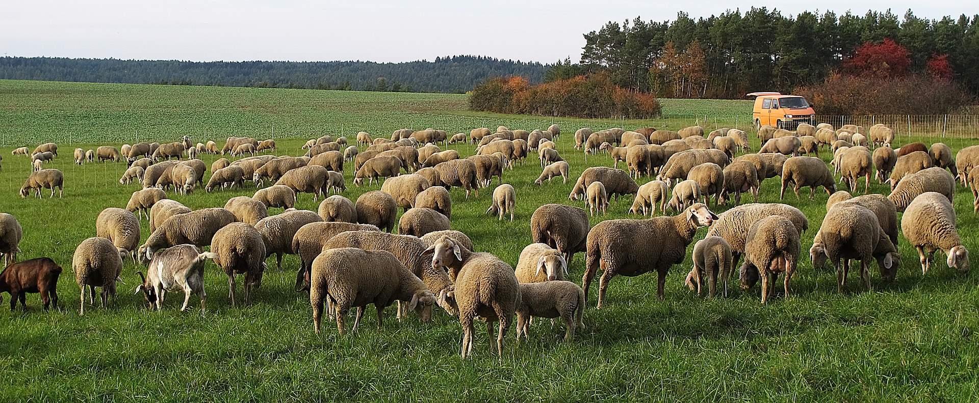 ovejas-monte-comederas-madera