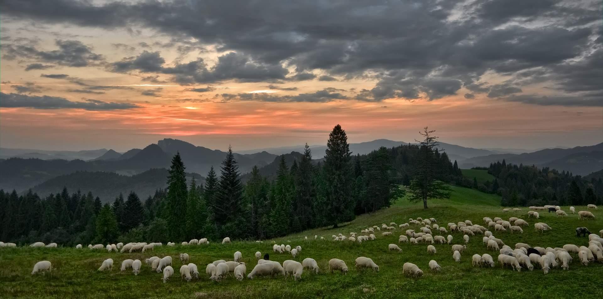 ovejas-pastoreo-montaña